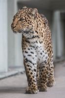 Leopard, KA III by FGW-Photography