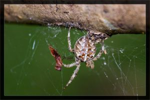 Cross Spider at Vesio 01 by deaconfrost78
