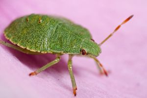 Hawthorn Shieldbug by VicPhillipsMacro