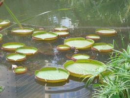 lily pads 1.3 by meihua-stock