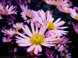 Chrysanthemums I by rosaarvensis
