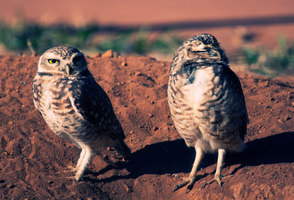 Owls again 01 by GustavoSugawara