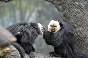 White Faced Saki Monkey.2. by HecklingHyena