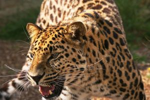 Amur Leopard 2 by rosswillett