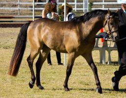 STOCK Canungra Show 2013-13 by fillyrox