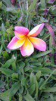 Another beautiful Frangipani by TenderTurtle