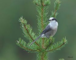 Gray Jay 2 by Les-Piccolo