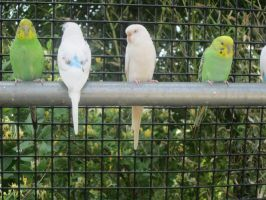 Budgies in a row by AudeS