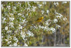 Yellow Warbler by kessalia
