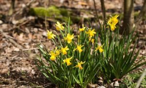 Small Narcissus by Danimatie