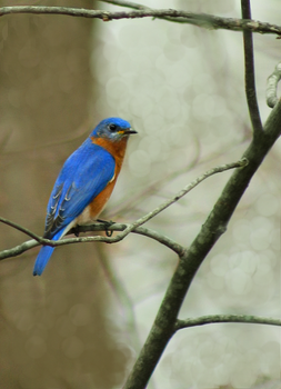 Eastern Bluebird Male by xxXKrystalSoulXxx