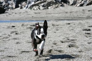 boston terrier action shot by downtempomusic