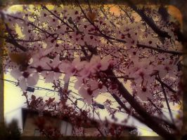 Cherry Blossoms by xogirlxo78
