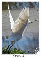 white heron by AMROU-A