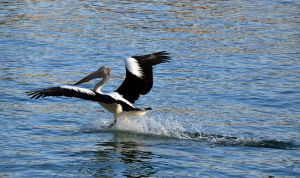A pelican landing on the water... by rbompro1