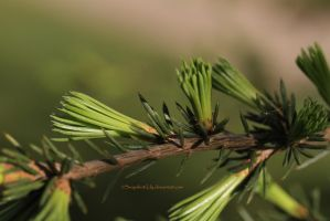Young needles by Snapshot-Lily