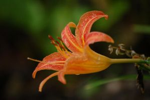 Orange Lily by offspring-emily