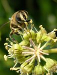 HOVERFLY ON IVY FLOWER by jynto