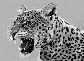 Pencil Drawing of Leopard by JasminaSusak