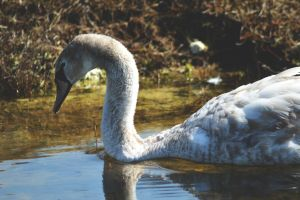 Young Swan by 1Mathew7