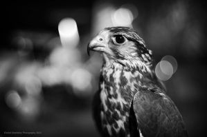Falcon ' DHAM ' by KhaledPhotography