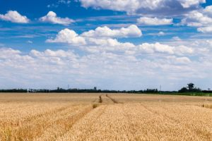 Crops of Wheat by sztewe