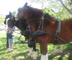 Clydesdales in harness nuzzle by Reyphotos