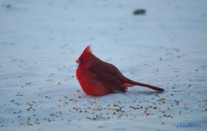 Cardinal in the Snow. by phbeks