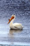 American White Pelican by Shadow848327