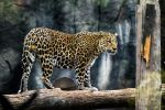 Leopard or Jaguar or maybe a Cheetah? by Whaleboi