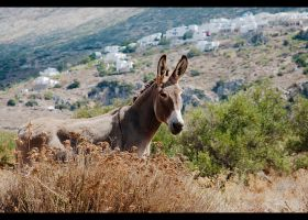 Amorgos donkey by paula2206-photo