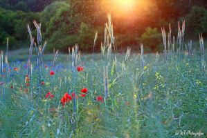 evening romance in the fields of Goehren by MT-Photografien