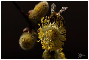 The spring of bees by Satourne