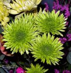 Green Mums by AWDesignsPhotography