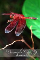 red dragon by dcjproduction
