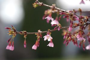 Cherry Blossom Branch by taeliac