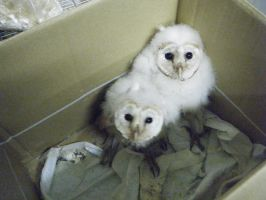 Baby Barn Owls by Kayllik