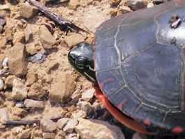So there was a turtle... by Gothicthundra
