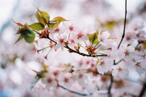 Blossom by WillAustinsArchive