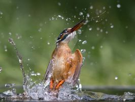 who needs Garnier _ common Kingfisher by Jamie-MacArthur