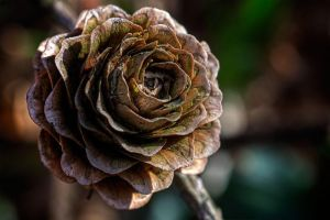 Like a rose by CharmingPhotography