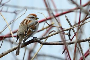 American Tree Sparrow by GuillaumGibault