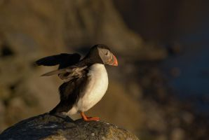 Atlantic Puffin 3 by netrex