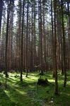 Dark pine forest landscape by Filipoe