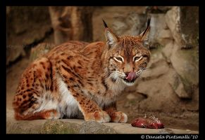 Lynx Lunch by TVD-Photography