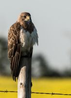Swainson's Hawk - Morning Perch by JestePhotography