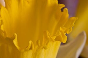 Daffodil series I by Bozack