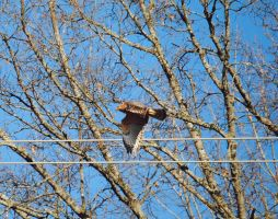 Red-Shouldered Hawk 3. by TheZoMbieMoshPiT