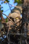 Baby Great Horned Owl II by Scooby777