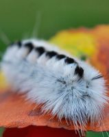 Hickory Tussock Caterpillar by sherln